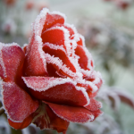 Rose Bush Winter Care