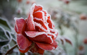 Rose Bush Winter Care