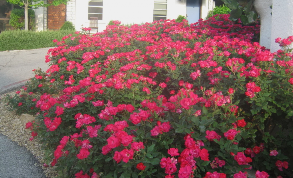 Types of Rose Bush