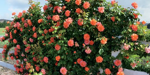 Types of Rose Bush